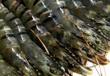 Picture of Black tiger prawns