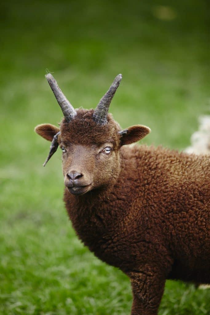 Picuture of Manx Loaghton lambsheep
